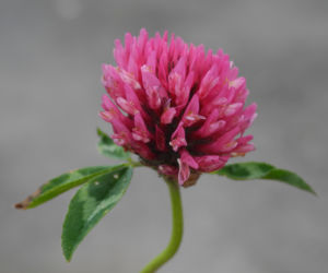 Wiesen Klee Bluete rot Trifolium pratense 08