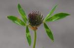 Wiesen Klee Bluete rot Trifolium pratense 09