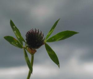 Wiesen Klee Bluete rot Trifolium pratense 10