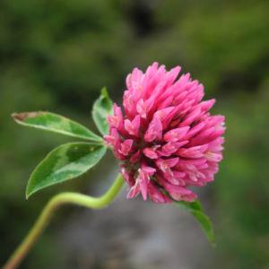 Wiesen Klee Bluete rot Trifolium pratense 13
