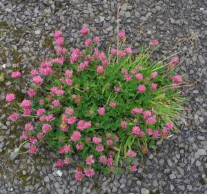Wiesen Klee Bluete rot Trifolium pratense 14