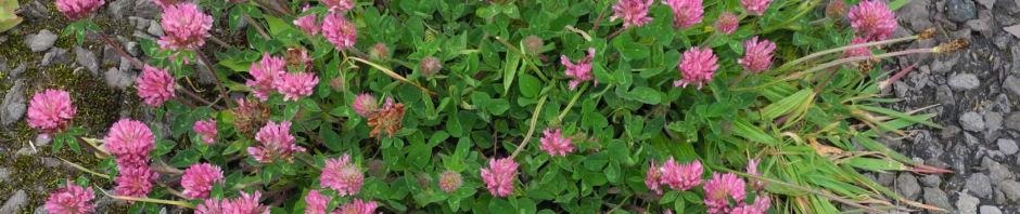 wiesen-klee-bluete-rot-trifolium-pratense