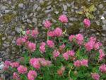 Bild: Wiesen-Klee Blüte rot Trifolium pratense