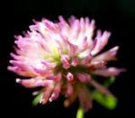 Wiesen Klee Kraut Bluete rot Trifolium pratense 02