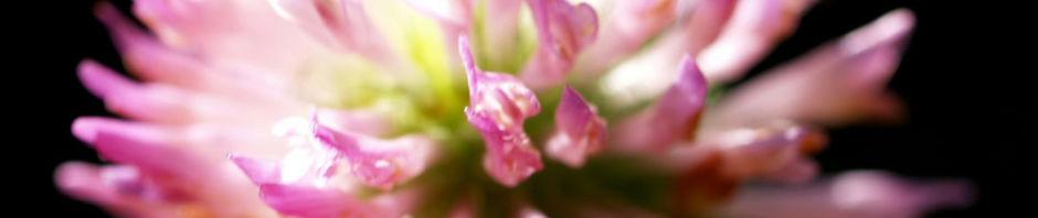 wiesen-klee-kraut-bluete-rot-trifolium-pratense