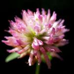 Wiesen Klee Kraut Bluete rot Trifolium pratense 04