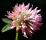 Wiesen Klee Kraut Bluete rot Trifolium pratense 06