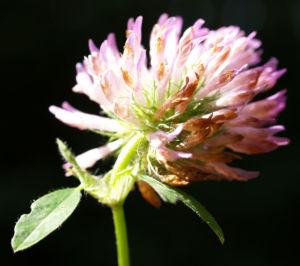 Wiesen Klee Kraut Bluete rot Trifolium pratense 09