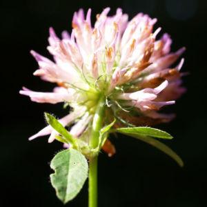 Wiesen Klee Kraut Bluete rot Trifolium pratense 10