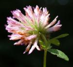 Bild:  Wiesen-Klee Kraut Blüte rot Trifolium pratense