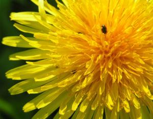 Wiesen Loewenzahn Bluete gelb Taraxacum officinale 01