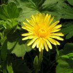 Wiesen Loewenzahn Bluete gelb Taraxacum officinale 02
