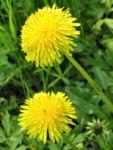 Wiesen Loewenzahn Bluete gelb Taraxacum officinale 03