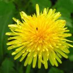 Wiesen Loewenzahn Bluete gelb Taraxacum officinale 04