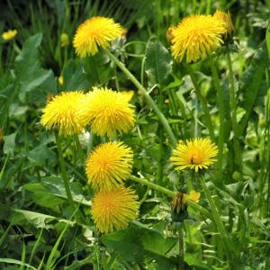 Wiesen Loewenzahn Bluete gelb Taraxacum officinale 05