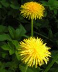Bild: Wiesen Löwenzahn Blüte gelb Taraxacum officinale