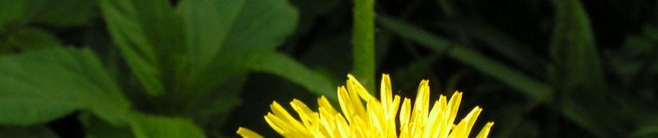 Anklicken um das ganze Bild zu sehen  Wiesen Löwenzahn Blüte gelb Taraxacum officinale