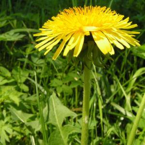 Wiesen Loewenzahn Bluete gelb Taraxacum officinale 07