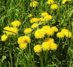 Wiesen Loewenzahn Bluete gelb Taraxacum officinale 09