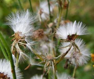 Wiesen Pippau Crepis biennis 06