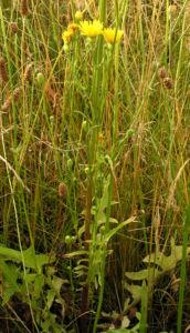 Wiesen Pippau Crepis biennis 09