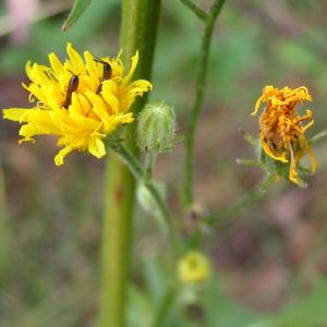 Wiesen Pippau Crepis biennis 10