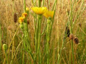 Wiesen Pippau Crepis biennis 11