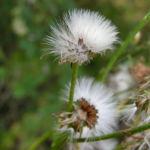 Wiesen Pippau Crepis biennis 13