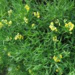 Wiesen Platterbse Bluete gelb Lathyrus pratensis 07