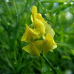 Wiesen Platterbse Bluete gelb Lathyrus pratensis 10