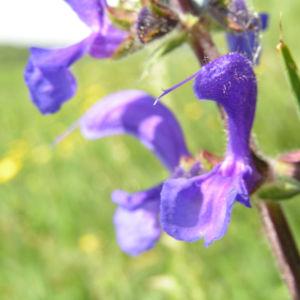 Wiesen Salbei Bluete blau Salvia pratensis 02