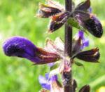 Wiesen Salbei Bluete blau Salvia pratensis 04