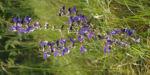 Wiesen Salbei Blueten lila Salvia pratensis 03