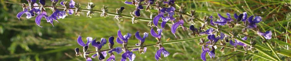 Anklicken um das ganze Bild zu sehen Wiesensalbei Blüten lila Salvia pratensis