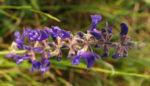 Wiesen Salbei Blueten lila Salvia pratensis 04