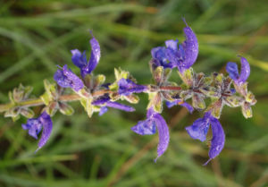 Wiesen Salbei Blueten lila Salvia pratensis 05