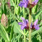 Wiesen Salbei Salvia pratensis 06