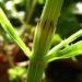 Zurück zum kompletten Bilderset Wiesen-Schachtelhalm Stängel grün Equisetum pratense