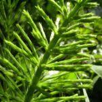 Wiesen Schachtelhalm Equisetum arvense 06