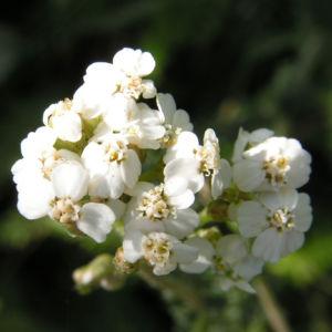 Wiesen Schafgarbe Bluetendolde rose Achillea setacea 04