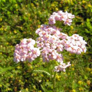 Bild: Wiesen Schafgarbe Bluetendolde rose Achillea setacea