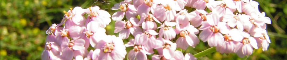 feinblaettrige-schafgarbe-bluetendolde-rose-achillea-setacea