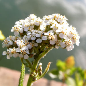 Wiesen Schafgarbe Bluetendolde rose Achillea setacea 07