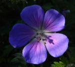 Wiesen Storchschnabel Bluete lila Geranium pratense 09