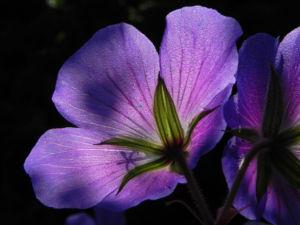 Wiesen Storchschnabel Bluete lila Geranium pratense 13