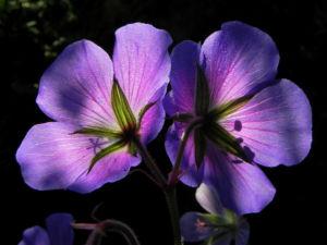 Wiesen Storchschnabel Bluete lila Geranium pratense 14
