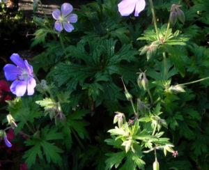 Wiesen Storchschnabel Bluete lila Geranium pratense 17