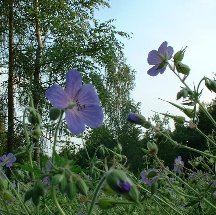 Wiesen Storchschnabel Geranium pratense
