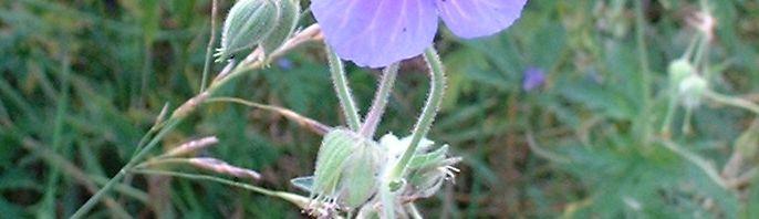 Anklicken um das ganze Bild zu sehen Wiesen Storchschnabel Blüte lila Geranium pratense