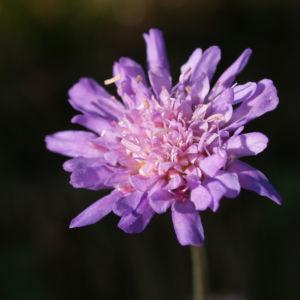 Wiesen Witwenblume Bluete lila Knautia arvensis 01